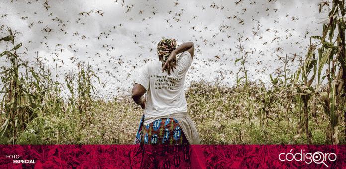 Las labores de control de las plagas de langostas en África lograron salvar cultivos, que representan el alimento para al menos 7 millones de personas