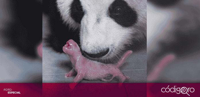 En Corea del Sur el zoológico Everland anunció el nacimiento de un ejemplar de panda gigante chino