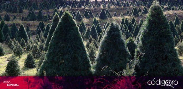 El Gobierno de la Ciudad de México estima que se venderán 144 mil árboles naturales de Navidad. Foto: Especial