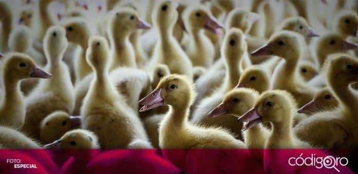 Francia confirmó la detección de un brote de gripe aviar en una granja de patos. Foto: Especial