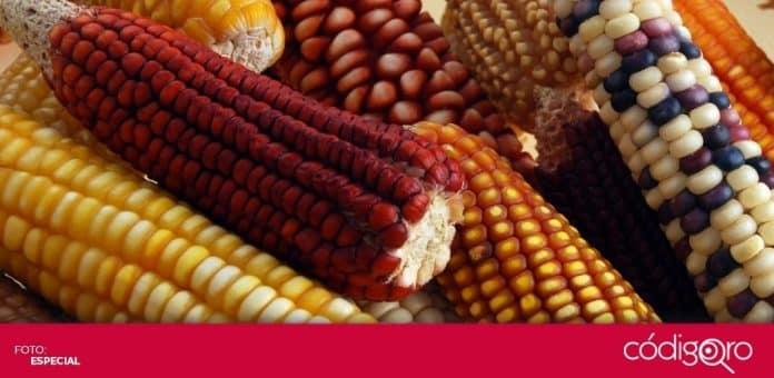 El Gobierno de México ordenó la prohibición del maíz transgénico en todo el país. Foto: Especial