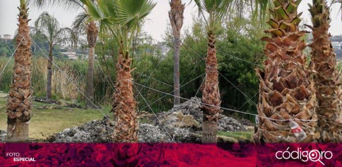 En la zona de Juriquilla, confirmaron la reubicación no autorizada de vegetación. Foto: Especial