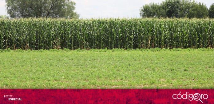 Hasta el momento, no hay afectaciones a los cultivos de temporal como consecuencia de las lluvias. Foto: Especial